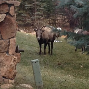 Big horn sheep graze inside and outside the park